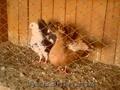 продаю голубеи